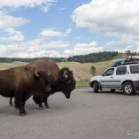 2014_usa_yellowstone_wildlife_12