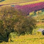 Jesienne winogrona