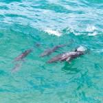 Delfiny z Byron Bay